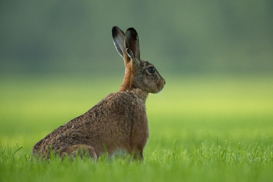 Brown Hare - our Hare population population is growing and expanding out to the wider landscape