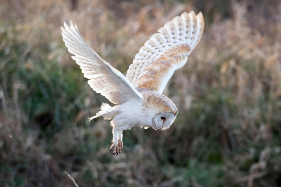 Barn Owl - A number of Barn Owl boxes have been strategically positioned throughout the estate to bolster the population