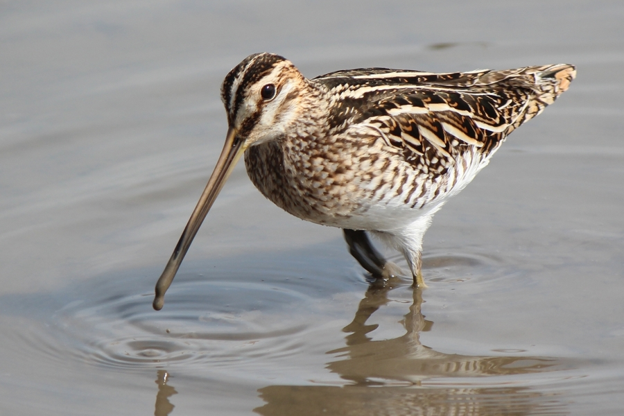 Snipe - Over 50 acres of low input grazing has been preserved and enhanced as a breeding snipe bog ('the most significant non coastal breeding population in West Sussex', GWCT 2016).