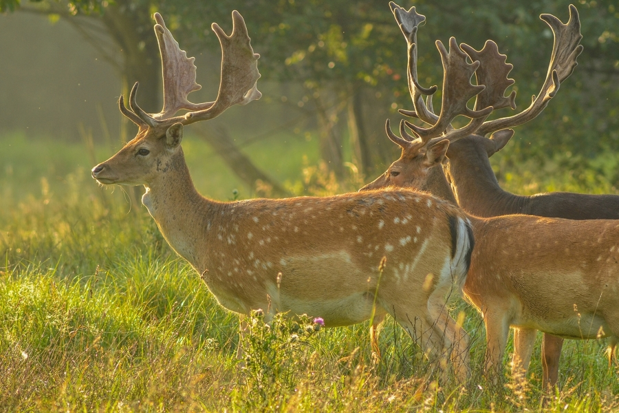 Fallow deer - These deer were first brought to Britain from the western Mediterranean during the Roman period