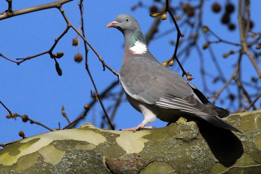 Wood Pigeon - Our largest and commonest pigeon