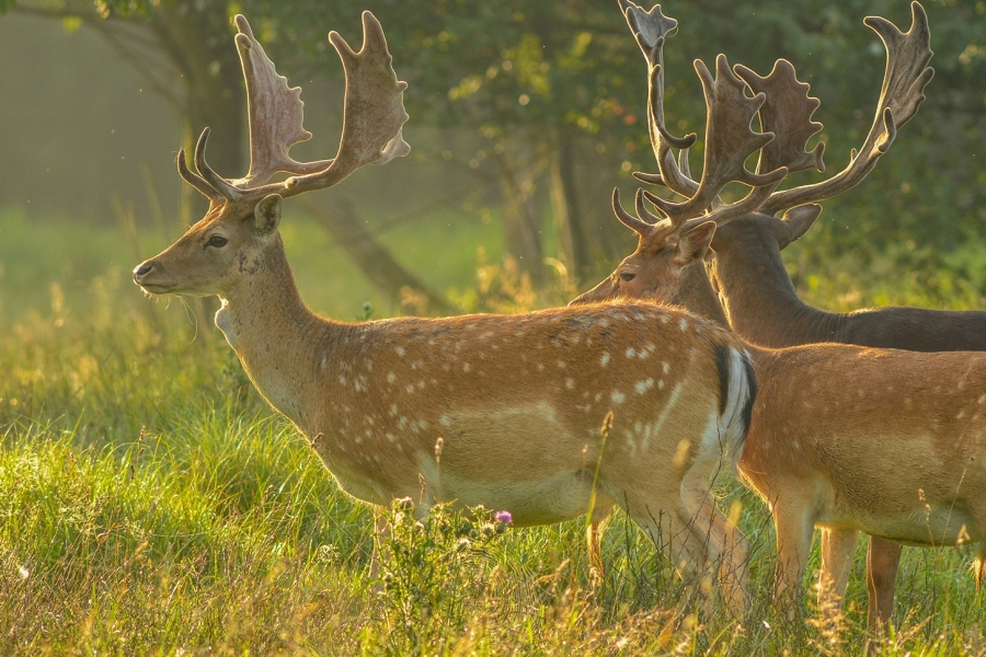 Fallow Deer - an elegant, medium-sized deer, with a typically spotted coat
