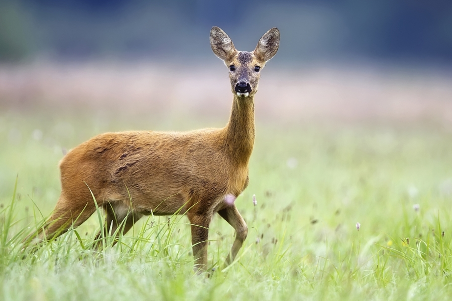 Roe deer - one of the truly native deer of the British Isles, the other being the Red deer