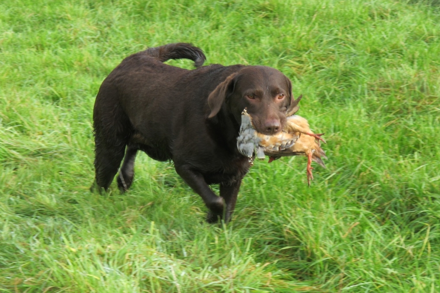 Labrador with a Partridge