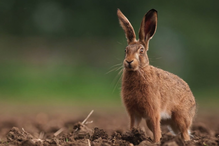 Brown Hare - much larger than rabbits and have tawny fur and very long, black-tipped ears