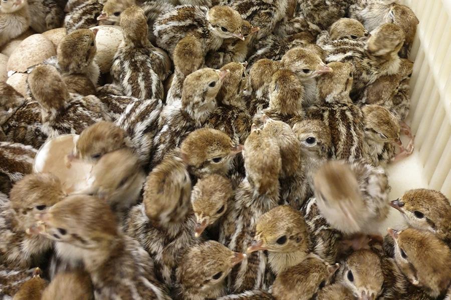 Chicks on hatch day