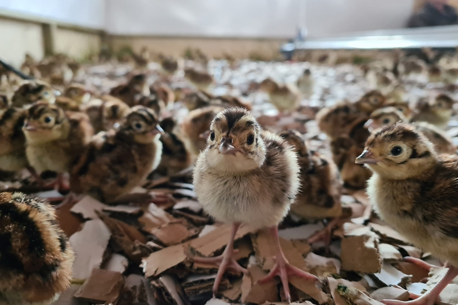 Day old chick Pheasant