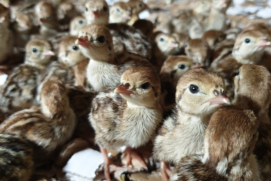 Day old Partridge chicks