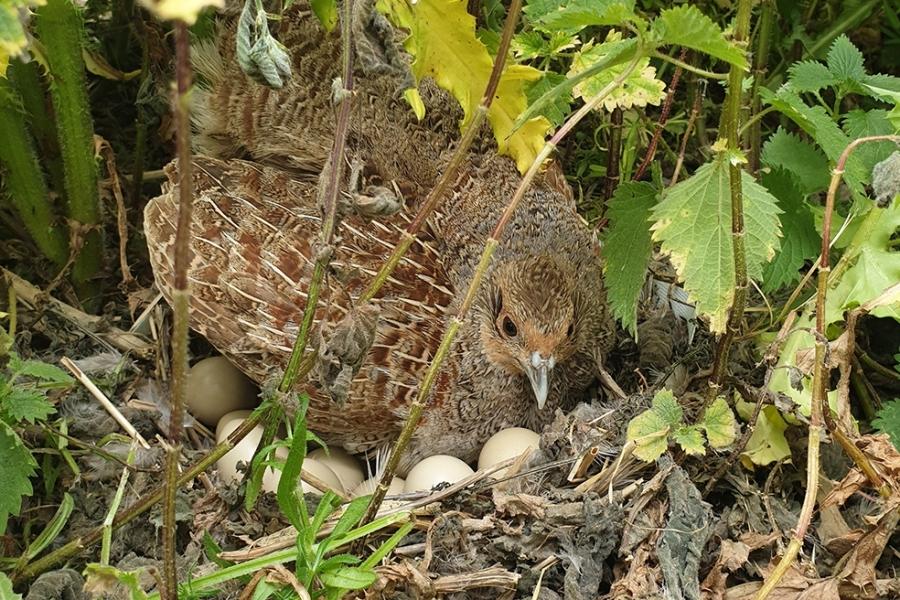 English Partridge sitting on eggs