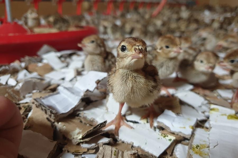 Partridge chicks