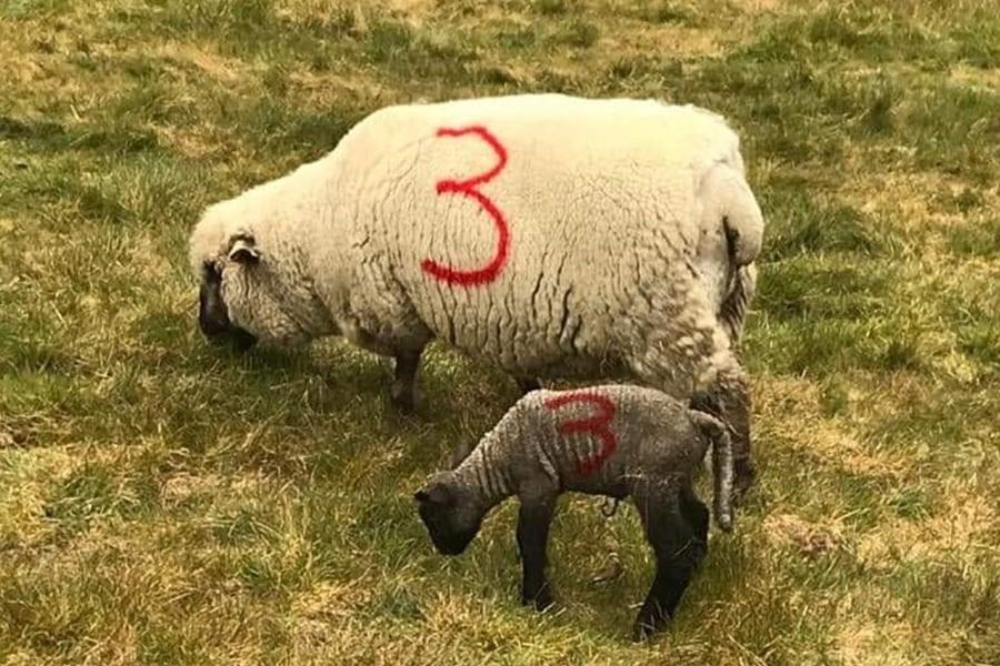 New Lamb 2020