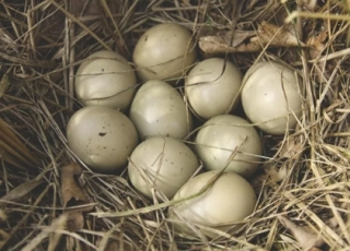 Why do we get eggcited about pheasant eggs?
